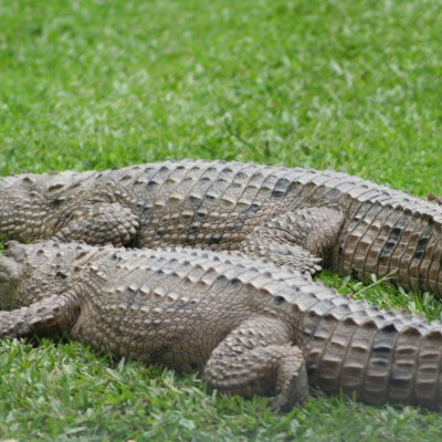 2 krokodillen