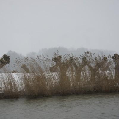knotwilgen in de biesbosch