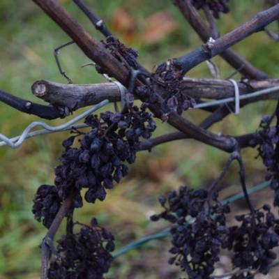 meunier druif