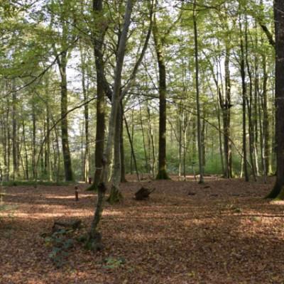 bos bij Verzy